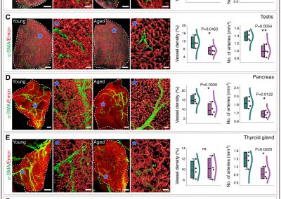 Decreased blood vessel density and endothelial cell subset dynamics during ageing of the endocrine system